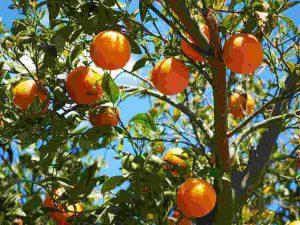 Nutrition Benefits of Kasturi for Health