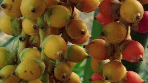 The Secret Benefits of Areca Fruit for Health